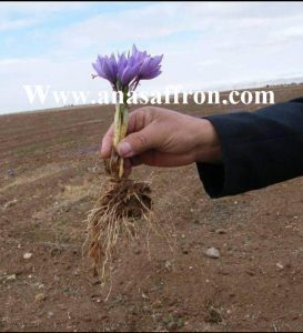 how to grow saffron commercially