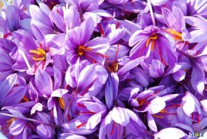 saffron growing temperature and land conditions